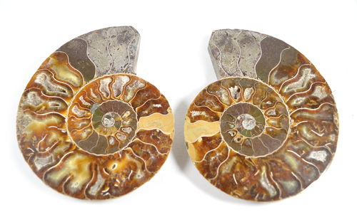 Fette di Ammonite Naturale. Soprammobile, Idea Regalo